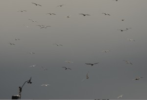 Gulls lifted after the heavy rain and flew above the Davis Weather station drying their wings.