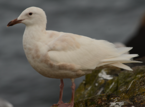 Mystery gull visited Race Rocks. Jury still out on its identification.
