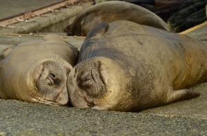 Elephant seals soaking up the sunshine.