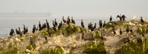Double-crested Cormorants have significantly increased in number over the last two months.