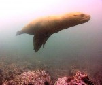 Northern Sealion Photo on Cam 2 by Pam Birley