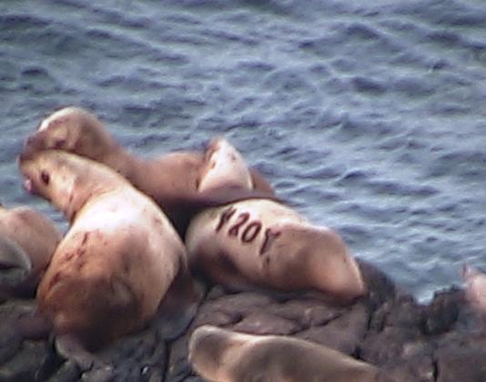 Steller sea lions are hauled out on the southwest side of Race Rocks. The sea lion with the brand 420Y was born in 2005 near Rogue Reef, Oregon. This photo was captured this morning on Camera 1 and submitted by Pam Birley, from the UK.