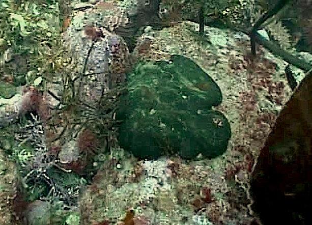 codiumsetchellii