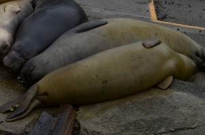 A cuddle puddle of elephant seals. Notice the two tags on the seal in the foreground: 7688 and 7625.