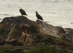 An adult and juvenile bald eagles perch looking  northeast, on the South Islands.