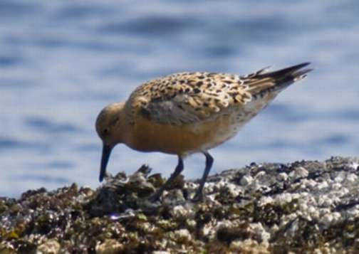 SARA listed Red Knot