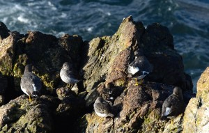 Sandpiper-like birds: durlin, surfbird and black turnstone