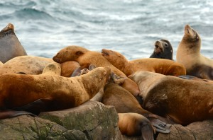 These steller and california sea lions don't make it easy to count them.