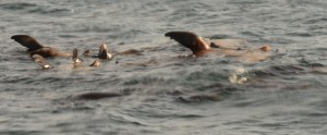 Sea lions thermoregulating by sticking a fin out of the water.
