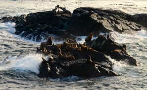 A group of steller and california sea lions get bashed by the waves on the south islands.
