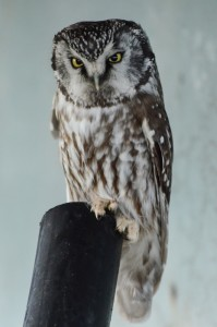Boreal Owl:  Alex Fletcher photo.