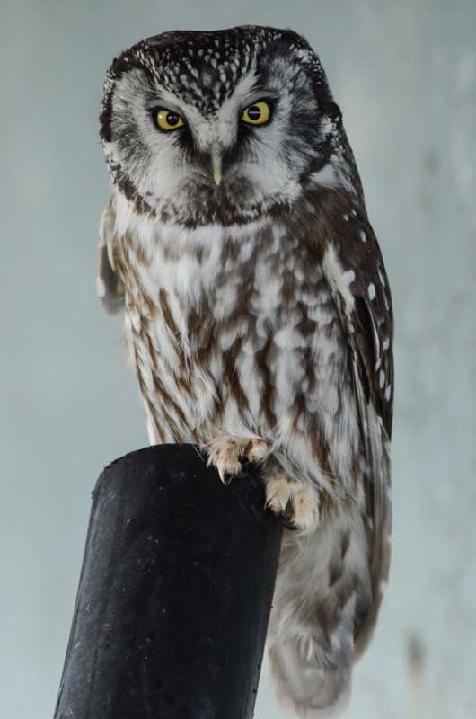 Boreal Owl: A.Fletcher photo