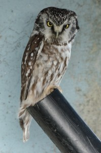 Boreal Owl: A.Fletcher photo. Note organization of white dots on dorsal side.
