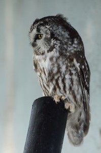 Boreal Owl- Race Rocks, Dec 28, 2014 photo by Alex Fletcher