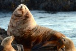 This large steller sea lion was the boss of the rock, barking at anything that came near it.