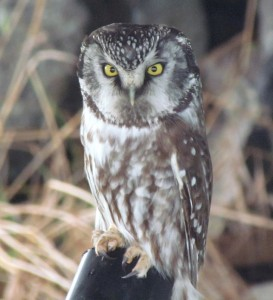 Boreal Owl at Race Rocks-Dec 28, 2014. Photo by Val George.