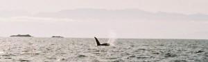 orcaisll