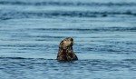 sea otter feb22-15