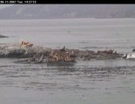 Note vertical posture of sea lions alerted. (Time 14:27:41)