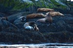 Check out the size difference amongst this intergenerational group of steller and california sea lions.