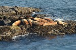 The steller sea lion in the centre of the pack is branded 790R. It was a pup in 2009, at Rogue Reef, Oregon.