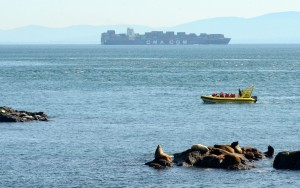 A whale watching boat gets up close to a group of sea lions on the South Islands. In the background a large container ship, the 334mx43m CMA CGM Cendrillon, passes within 4km of Race Rocks on its way to Seattle. Feb 4, photo by Nick Townley