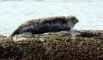 A harbour seal blends in with the rock, barnacles and intertidal plants.
