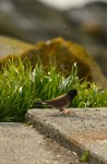 An oregon junco near the Energy Building with a fly buzzing overhead