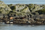 Sea lions and harbour seals share the same rock on the South Islands.