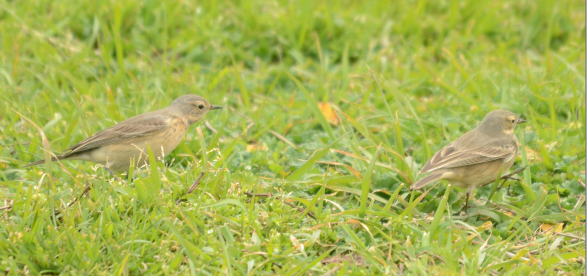 American Pipits have been busy feeding on insects on the ground at Great Race.