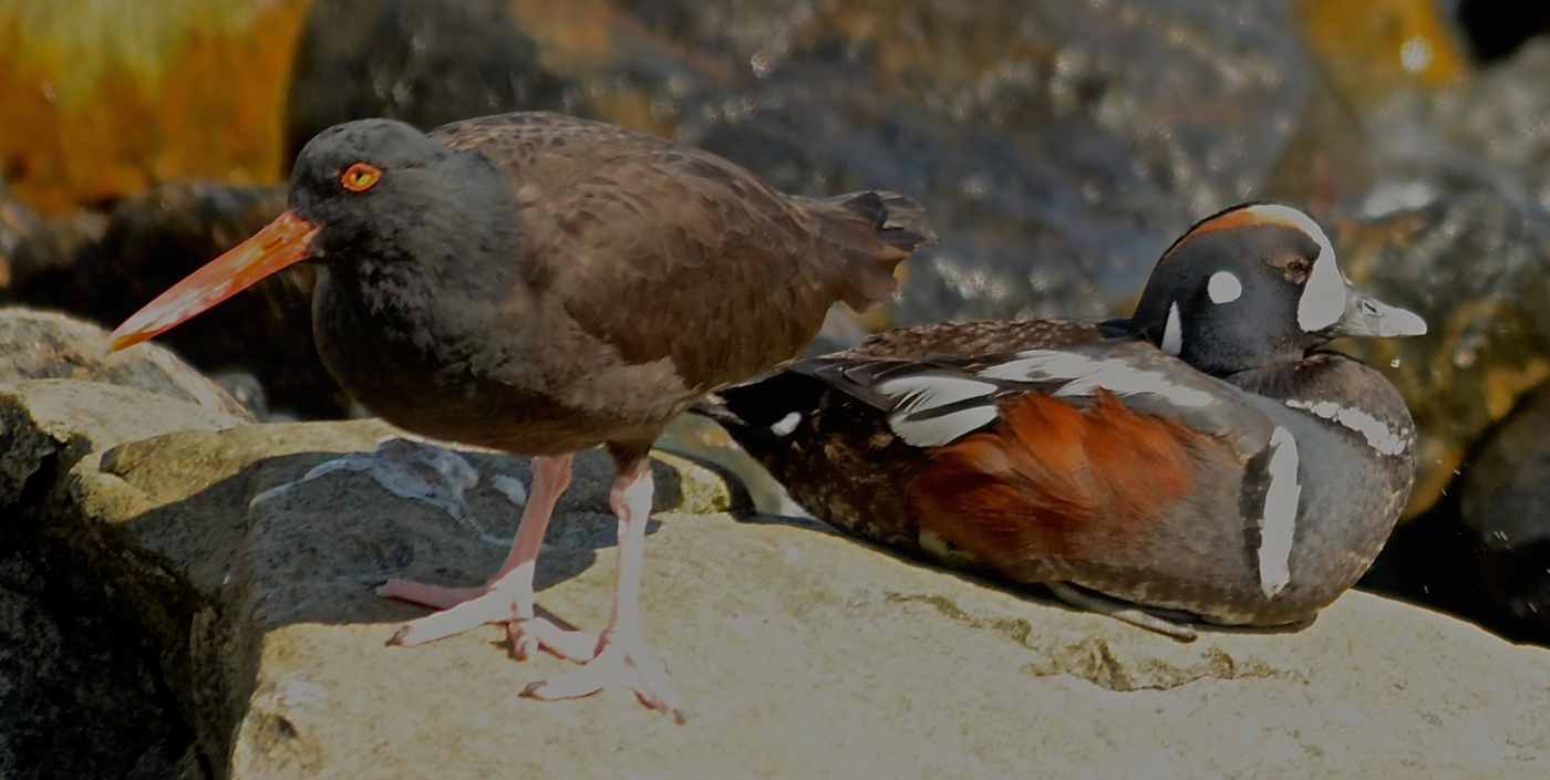 Two charismatic species, a Black Oystercatcher and a Harlequin Duck share a rock.