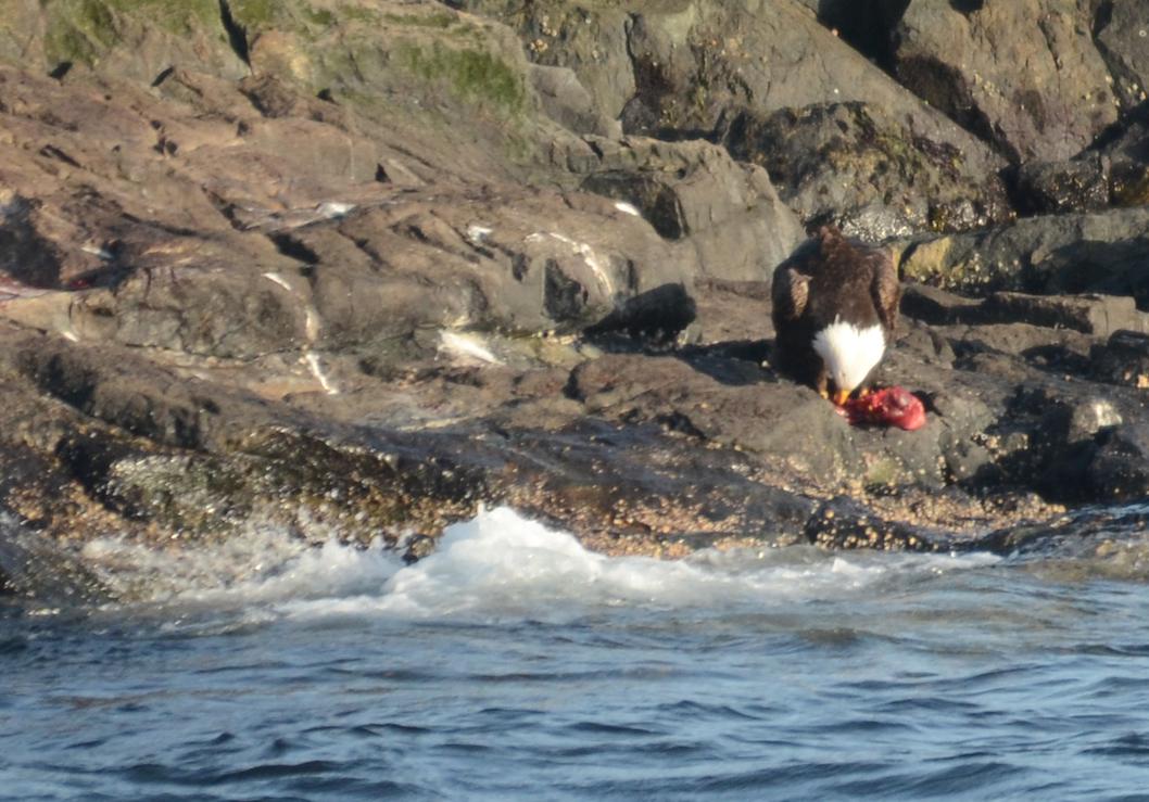 Adult Bald Eagle feeding on fresh meat.