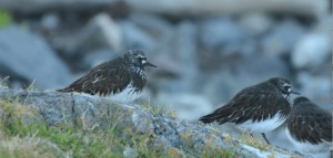 Black Turnstones in all their summer finery.