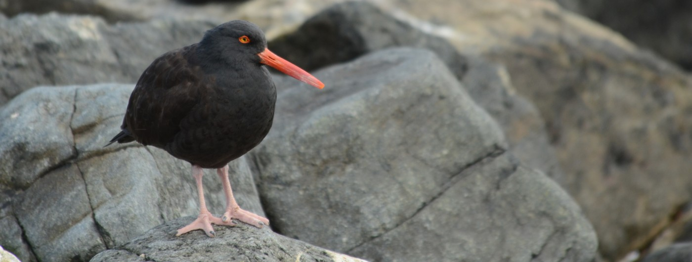 The toe-crossing Black Oystercatcher.