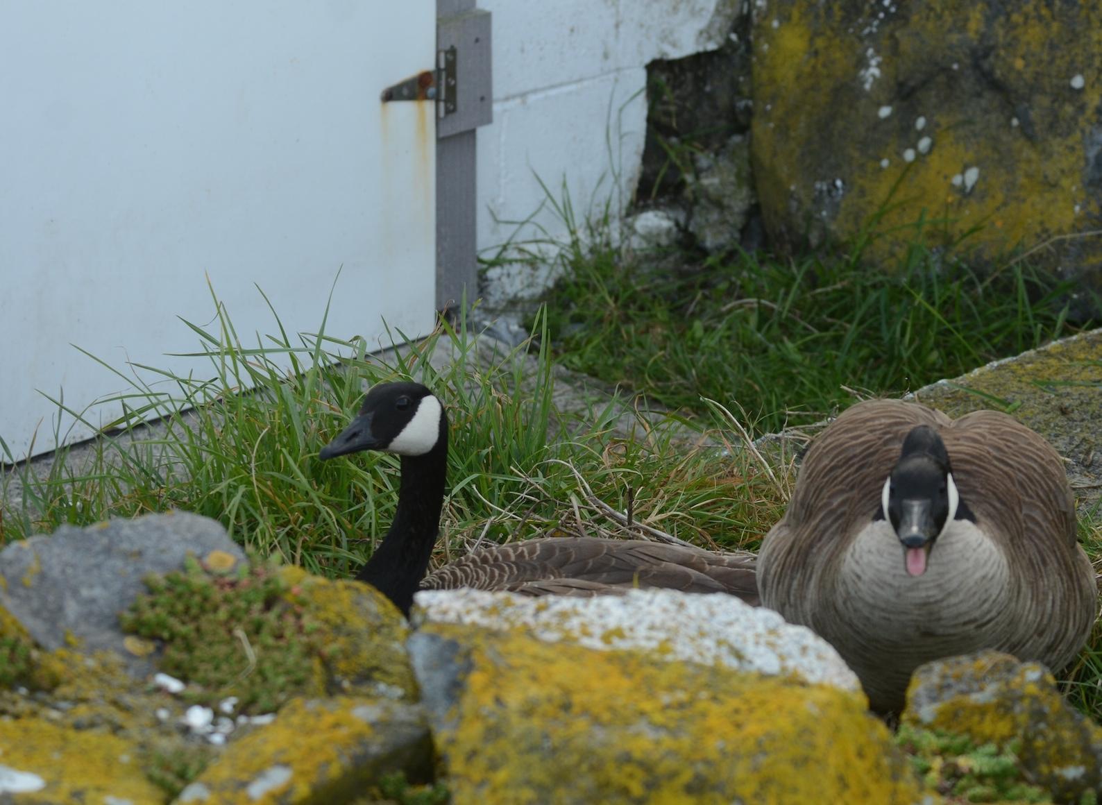 Canada Geese defending the entrance to the de-salinator.