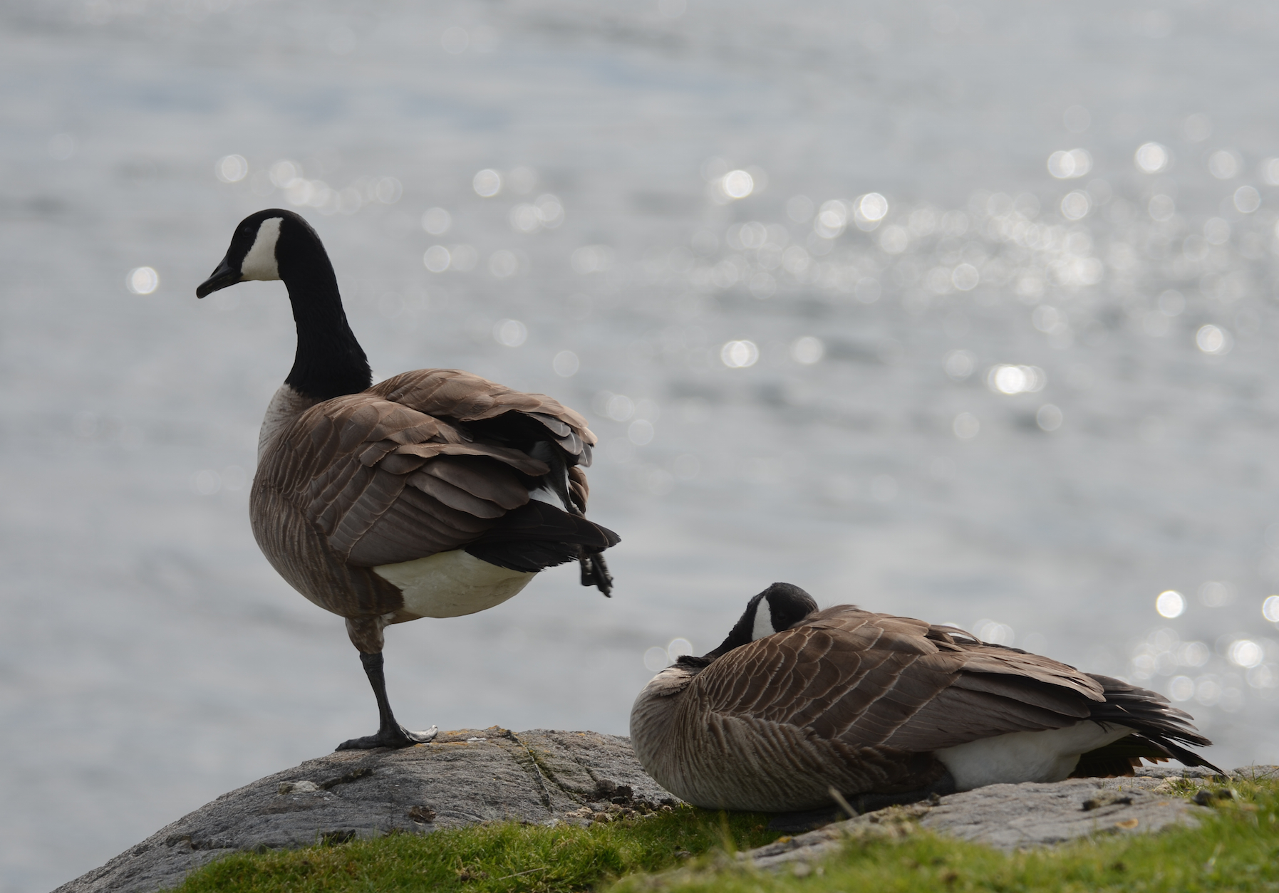 Ubiquitous Canada Geese - photogenic, but a bit hard on the vegetation and other island inhabitants.