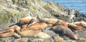 Stellers Sealions hauled out on South Islets. Note the young, branded animal # 460Y, one up from bottom left.