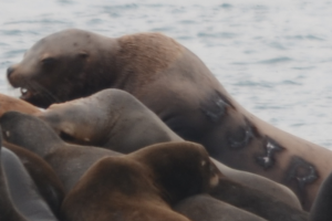 A branded sea lion interacting with haul-out mates on South Seal Islands.