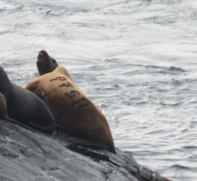 Another Steller's Sea Lion branded as a pup in southern Oregon.