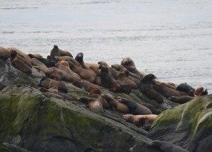 Sealions hauled out on the south islet. 533R is in the middle of the back row.