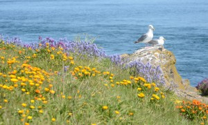 Spring flowers on the site of the original garden from the 1860s. A pair of Glaucous-winged Gulls in the backgroud
