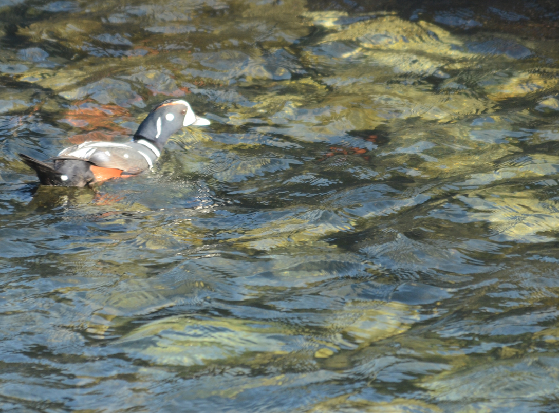 Male Harlequin Duck feeding in the shallows off Great Race.