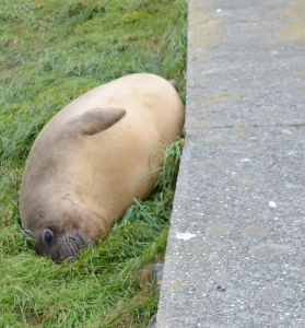 Female Northern Elephant Seal huddles up to sidewalk.