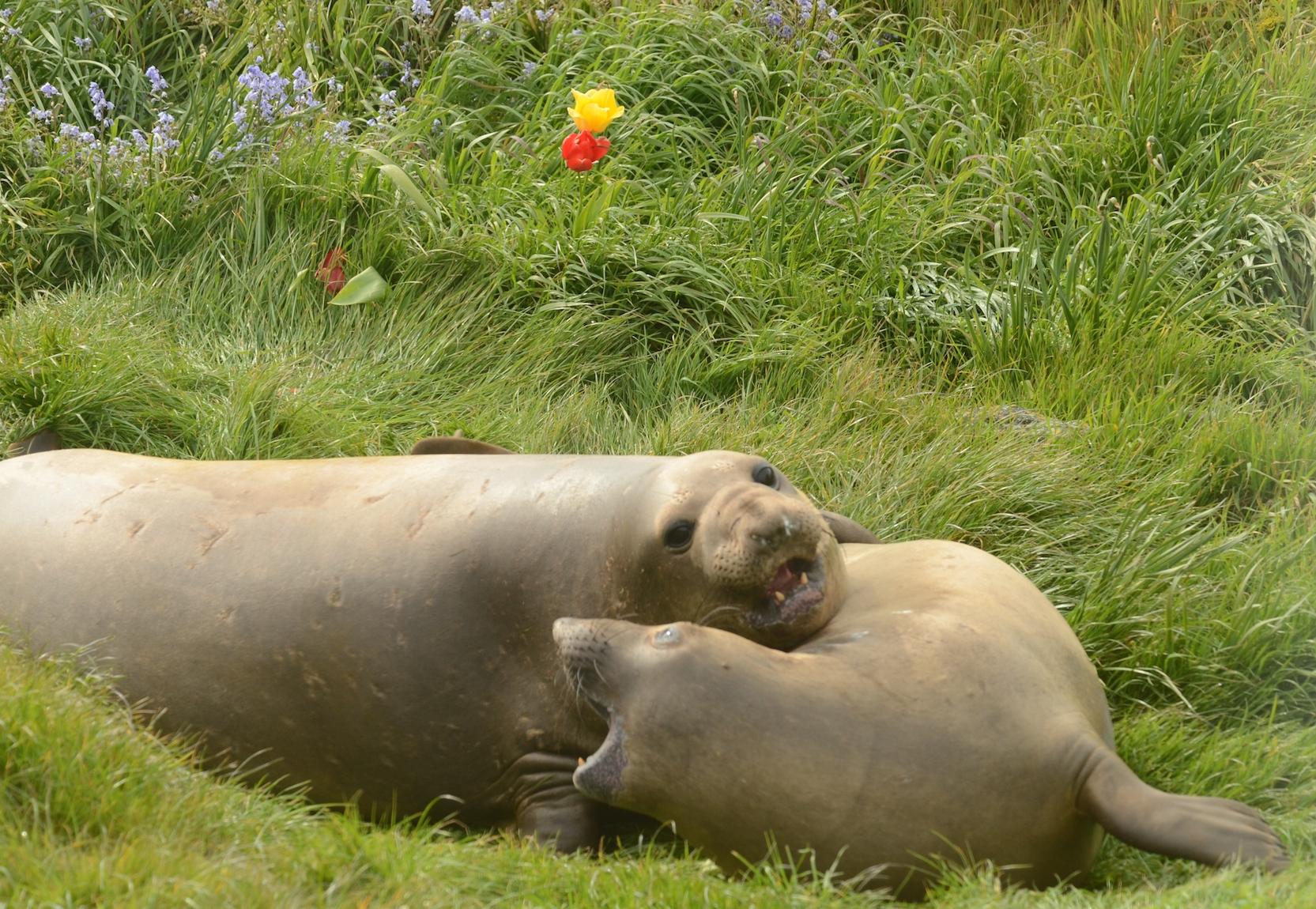 Male (left) and female Northern Elephant Seals romping in the grass.