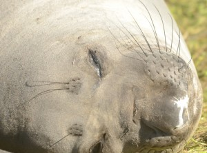 "This female elephant seal has moutled her facial hair and skin, revealing a soft looking gray fuzz. Note that the ""whiskers"" and ""eyebrows"" are also moulting. These are important sensory hairs called vibrissae."