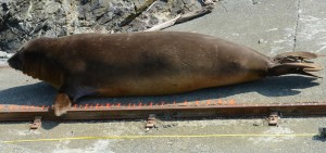 "Male elephant seal entering the ""measuring device""."