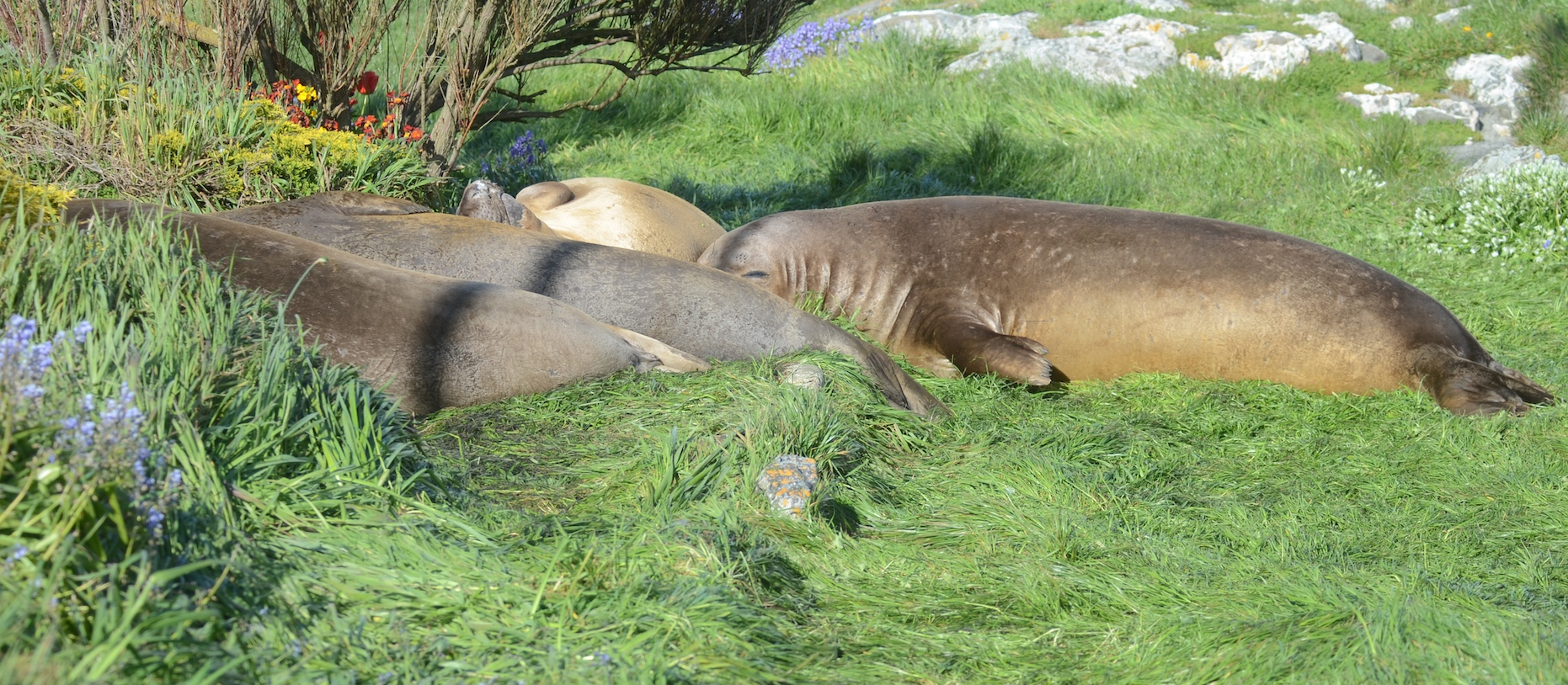 Northern Elephant Seals sleeping in the old garden.