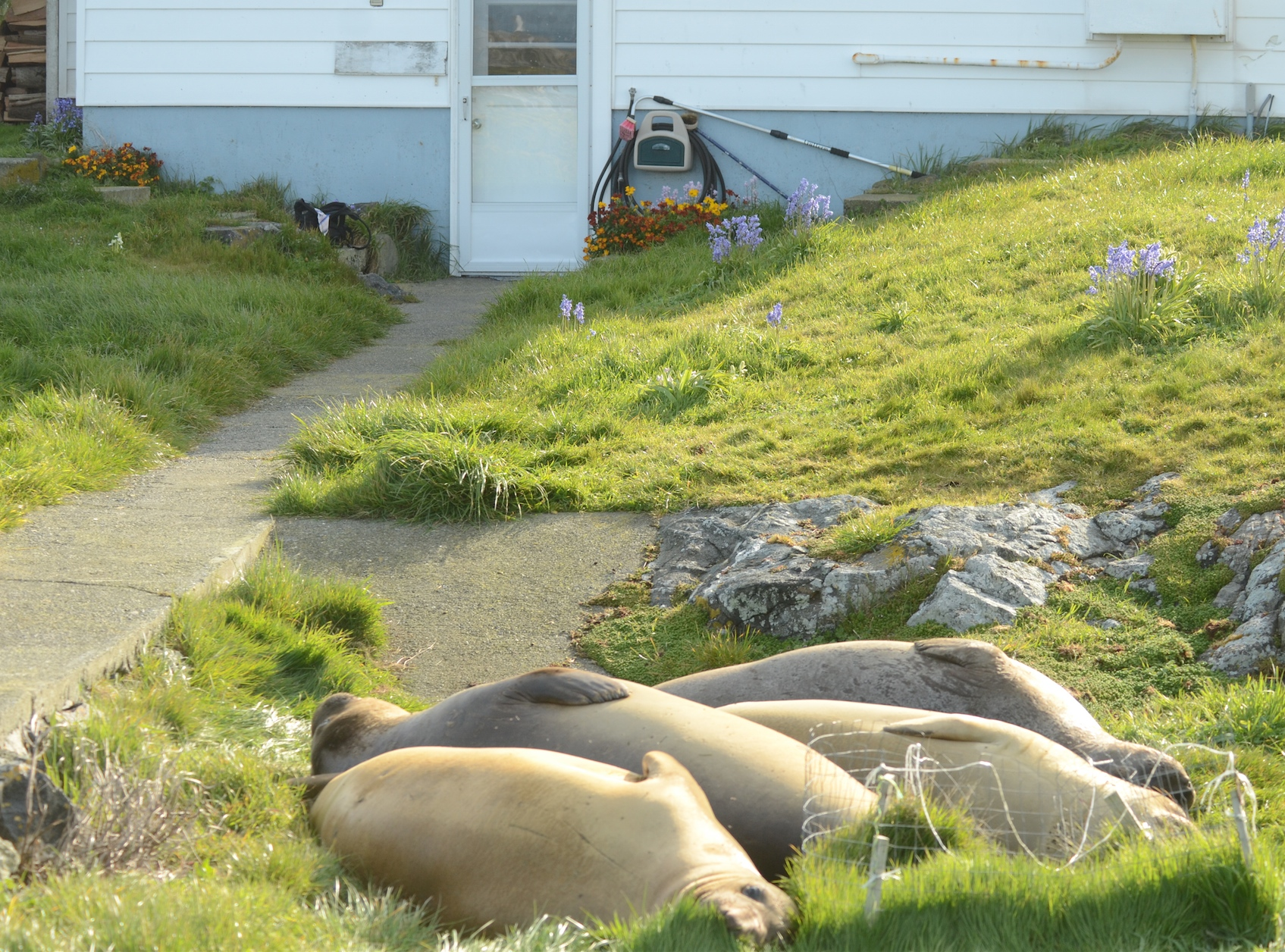 Goose exclusion cage keeps seals from flattening all the grass. Cage may be flattened too.