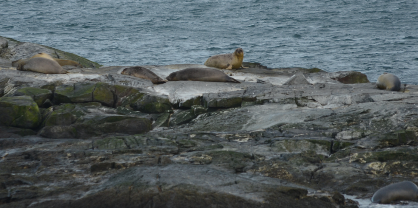 Eleven Northern Elephant Seals were hauled out on Middle Rock yesterday and one checked out the jetty ramp this morning.