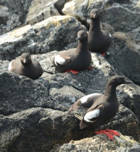 The Pigeon Guillemots are getting really comfortable on land again.